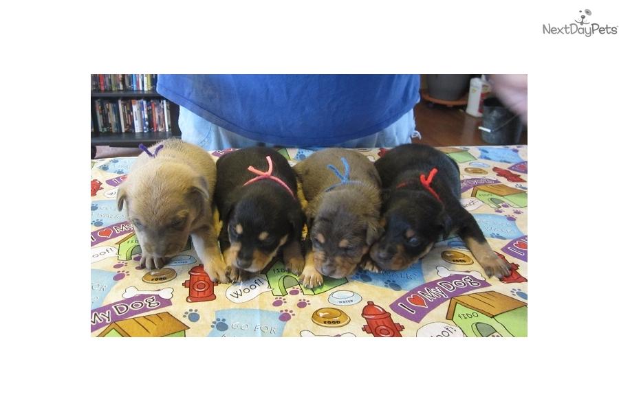 Mountain Feist puppy for sale near Western KY, Kentucky   57d15de2 ...