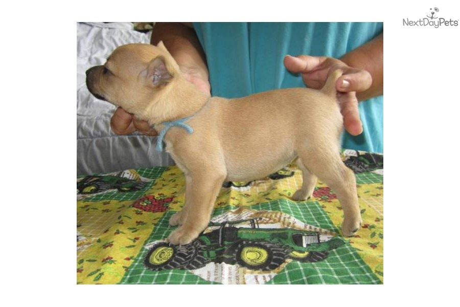 feist squirrel dogs sale to download mountain feist squirrel dogs sale ...