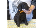 BSS registered Boykin pups | Puppy at 6 weeks of age for sale