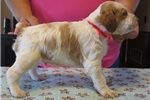 Picture of AKC registered Brittany pups