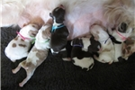 Picture of AKC registered Brittany pups, ALL FEMALES!!