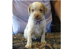 Picture of AKC registered Brittany pups, ALL FEMALES!!  ROANS