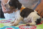 Picture of AKC registered Brittany pups, ROANS
