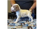 Picture of AKC registered Brittany pups, Males