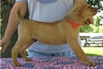 Picture of NKC registered Red Finnish FEIST pups