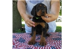 Picture of FRENCH SIRED Gordon Setter puppies RESERVE NOW!