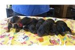 Gordon Setter for sale