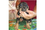 Picture of Mountain FEIST -Terrier cross pups