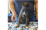 Mountain Cur for sale