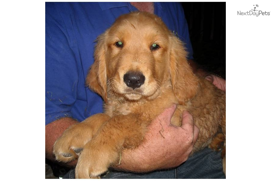 akc meet the breeds golden retriever