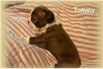 Picture of AKC Red and White Boston Terrier Female - Tammy