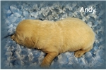 Picture of AKC English Creme Golden Retriever Male- Andy
