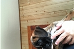 Picture of Akc euro boxer puppy