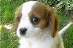 Picture of Toby - www.hartcavaliers.com