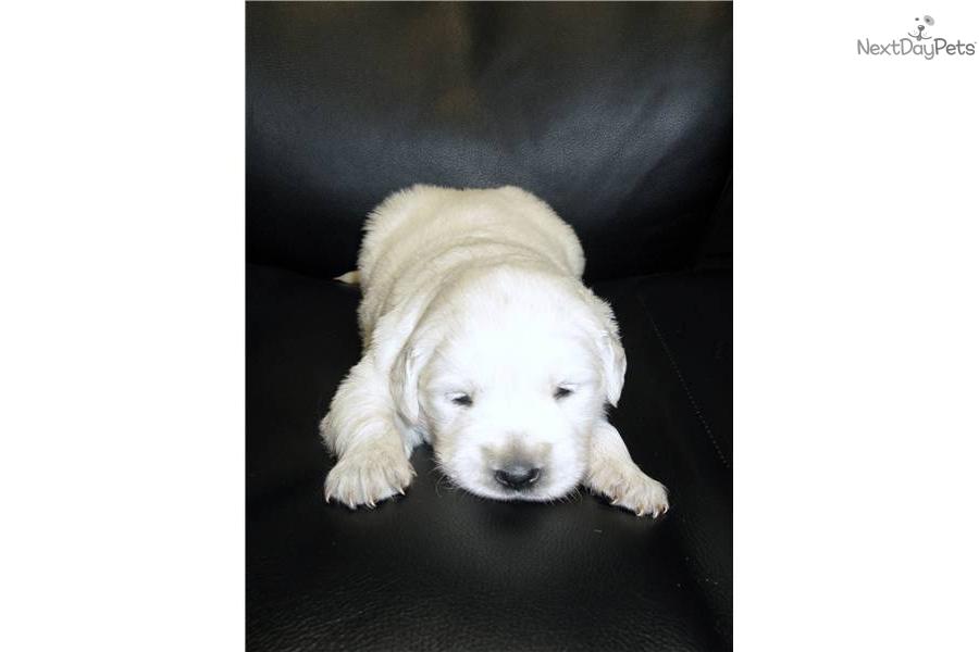 Golden Retriever Puppies For Sale Atlanta