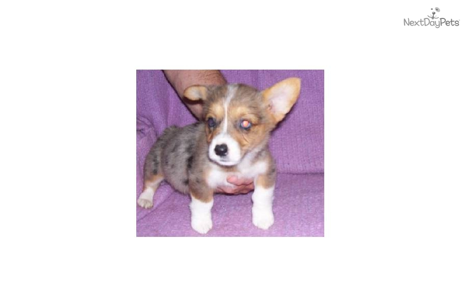 welsh corgi essay Children and five grandchildren, she lives in pleasanton, california with her  husband and welsh corgi, where she is at work on her next essay collection.