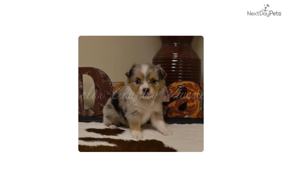 Miniature Australian Shepherd Puppy For Sale Near St George Utah Af85ef38 2b11