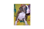 Picture of AKC Flashy Brindle Male