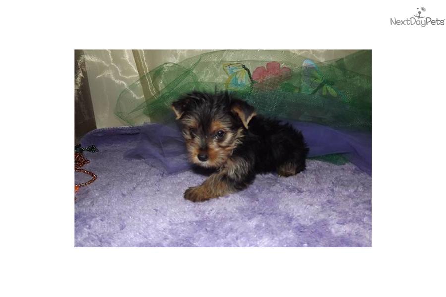 texas-boy-rocketdog-yorkshire-terrier-yorkie-puppy-425e96b5-f3d0-4e9e ...