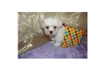 Picture of a Maltese Puppy