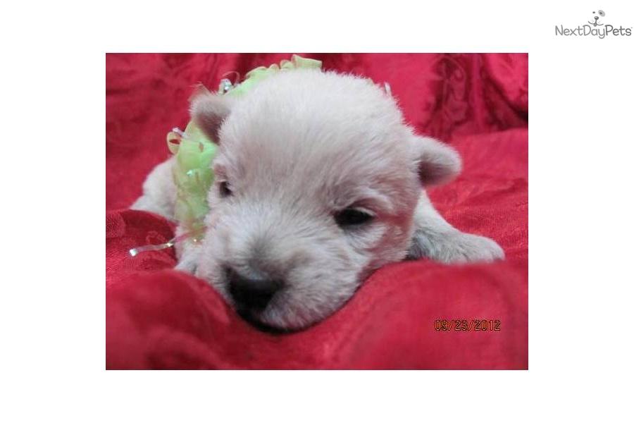 Akc westie girldog west highland white terrier westie puppy 9685a5be