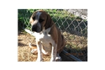 Picture of an English Coonhound Puppy