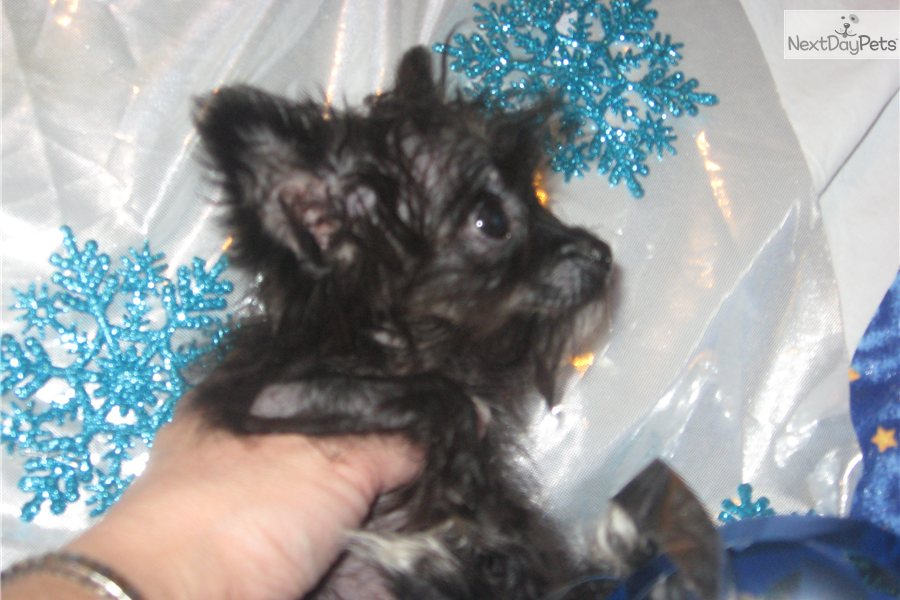 Spike the Micro Teacup Morkie