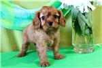 Picture of AKC Ruby Cavalier Boy