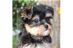 Picture of Darling Little Morkie Boy