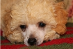 Picture of AKC, Sweet Toy Poodle Boy,