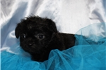 Picture of a Pugapoo Puppy