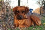 Picture of AKC Kahlua