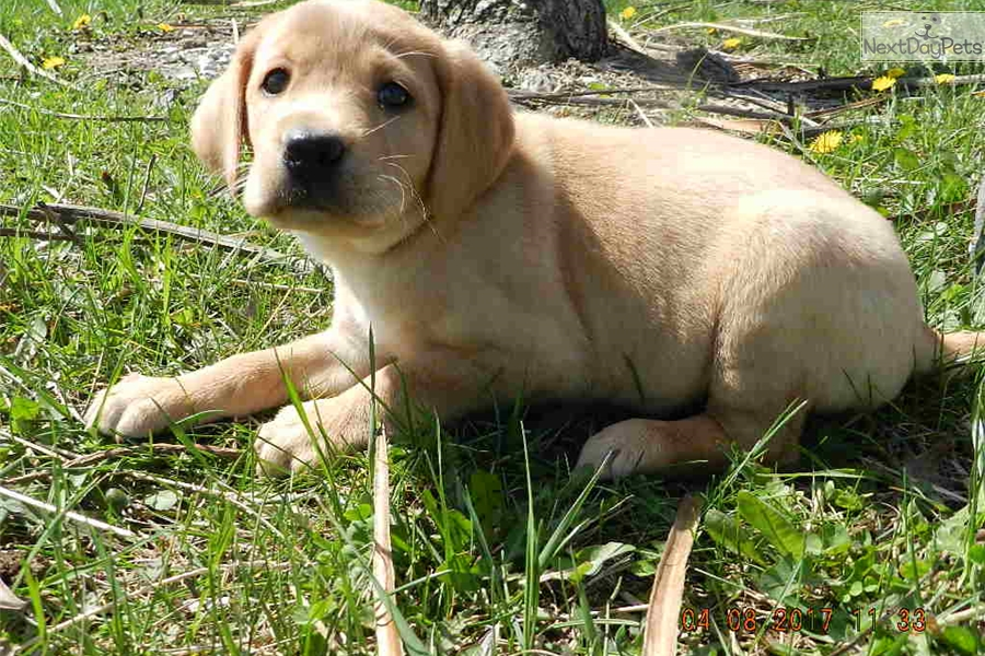 Labs for sale in kansas city