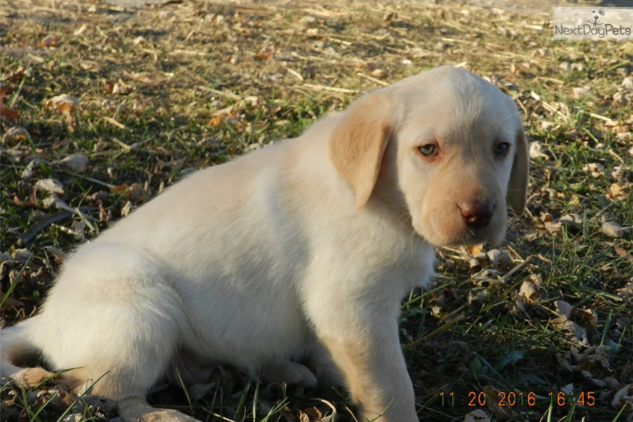 Labrador puppies for sale in missouri