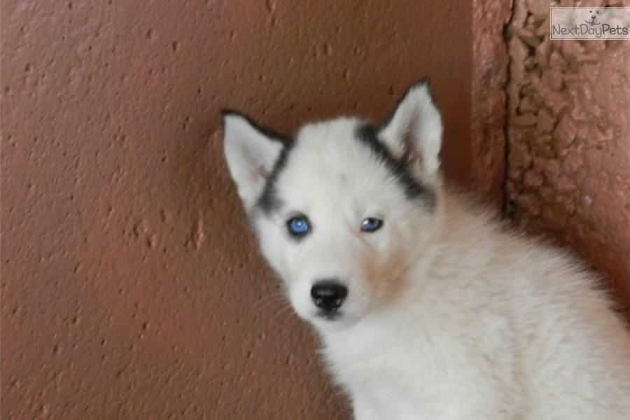 siberian husky puppy for sale near kansas city  missouri