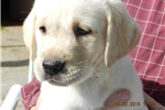 Picture of Kayla male yellow lab