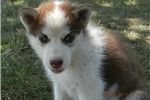 Picture of ELLENS MALE RED HUSKY