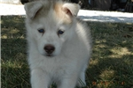 Picture of TONJA MALE lIGHT RED HUSKY