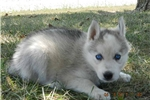 Picture of TONJA GRAY MALE HUSKY