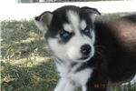Picture of Rylee male black and white husky