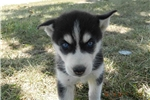 Picture of ELLEN MALE BLACK and white HUSKY