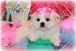 Picture of Beautiful Little Female Malshi - Bella Rose