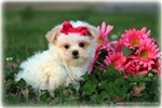 Picture of Beautiful Little female Mal-shih - Peaches