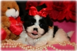 Picture of Beautiful Little female Mal-shih - Bella Rose