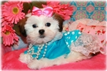 Picture of Beautiful Little female Malshi - Sweet Dixie