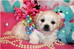 Picture of Beautiful Little male Mal-shih - Murphy