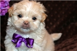 Picture of Beautiful male Maltese - Huckleberry