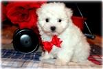 Picture of Beautiful Little male Malti Poo - Boogie