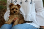 Picture of Beautiful male Morkie - Bean