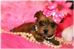 Picture of Beautiful Little female Morkie- Izzy Belle